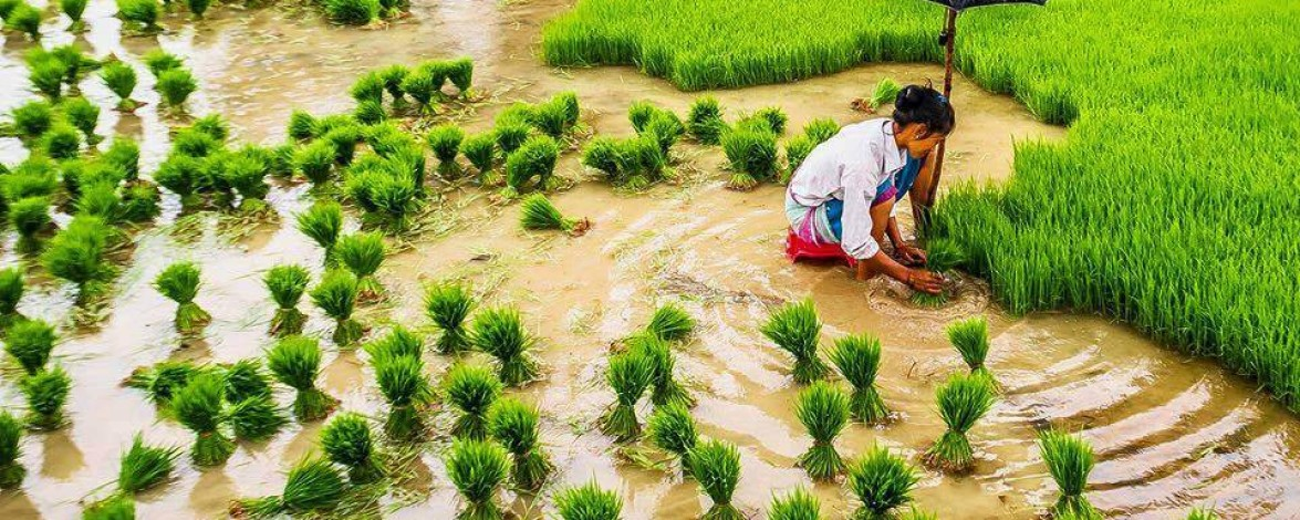 June Festival Nepal: Rice Plantation Day- 29th June 2017